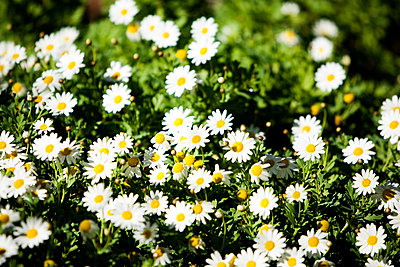 Flower Bed of White Flowers - p5551179f by LOOK Photography