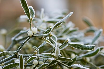 Mistletoe with berries and hoar frost - p1183m996293 by Schindler, Martina
