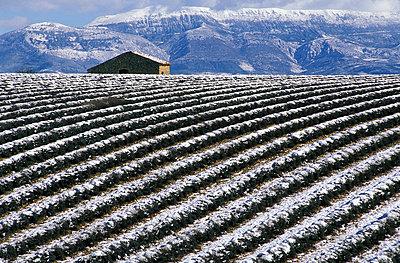 Lavendelfelder im Winter - p1468m1527631 von Philippe Leroux