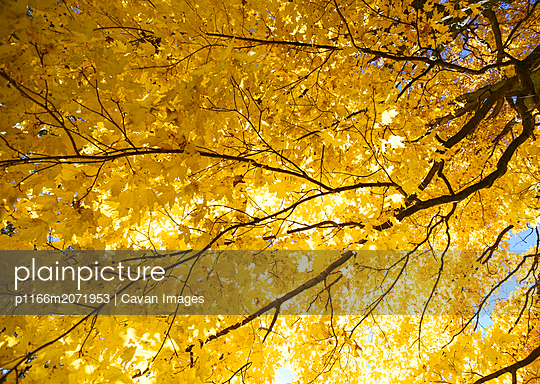 Looking up at tree canopy covered in bright yellow autumn leaves. - p1166m2071953 by Cavan Images