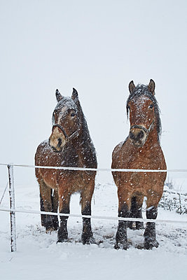 Horses on winter pasture - p312m1114078f by Jan Tove