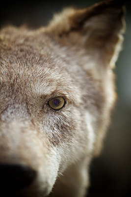 Head of wolf close-up - p586m1109880 by Kniel Synnatzschke