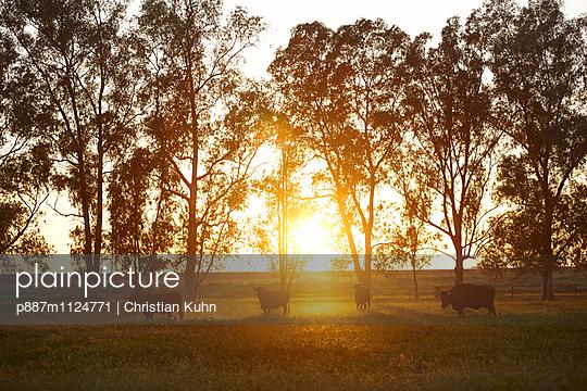 Sonnenuntergang und Stiere - p887m1124771 von Christian Kuhn