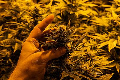 Professional Growing cannabis in America. Strongest marijuana st - p1166m2146363 by Cavan Images