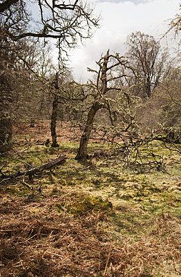 Broken tree - p1477m2038945 by rainandsalt