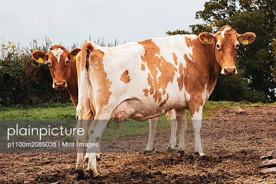 Two piebald red and white Guernsey cows on a pasture. - p1100m2085038 by Mint Images