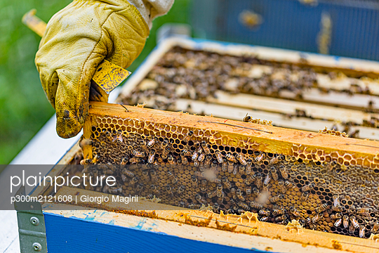 Beekeeper checking frame with honeybees - p300m2121608 by Giorgio Magini