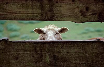 Schaf guckt durch den Zaun - p2190058 von Carsten Büll