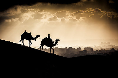 Two camels and a rider walk in front of Giza, Egypt at sunset; Giza, Egypt - p442m1149530 by Matt Brandon