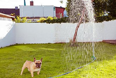 Französische Bulldogge steht im Garten - p432m1441581 von mia takahara