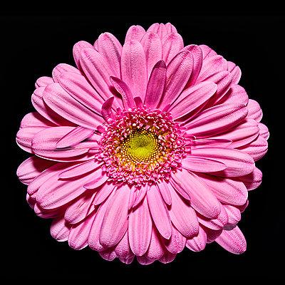 Pink Gerbera - p587m2115451 by Spitta + Hellwig