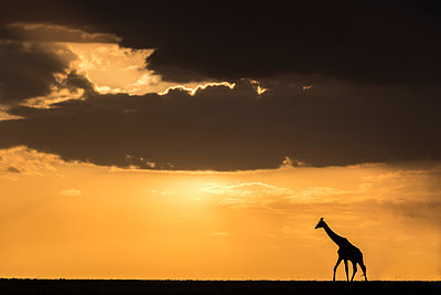 Kenya, Maasai Mara National Game Reserve. A Masai giraffe wanders across the plains as storm clouds gather in the late afternoon during the short rainy season. - p651m2033515 by Jonathan & Angela Scott