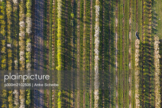 Rows of cherry trees in an orchard in spring, aerial view - p300m2102506 by Anke Scheibe