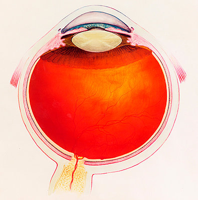 Diagrammatic cross section of the human eye - p429m839268 by Callista Images