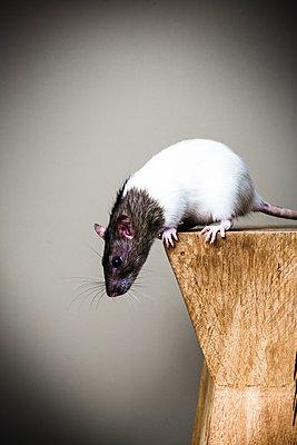 Fancy rat - p1076m858979 by TOBSN