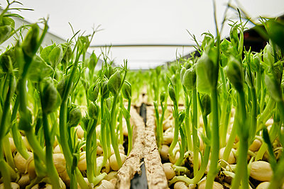 Close up of tightly packed pea seedlings growing in urban farm - p1100m2271566 by Mint Images