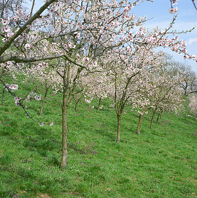 Almond trees - p3840216 by Sehnaz