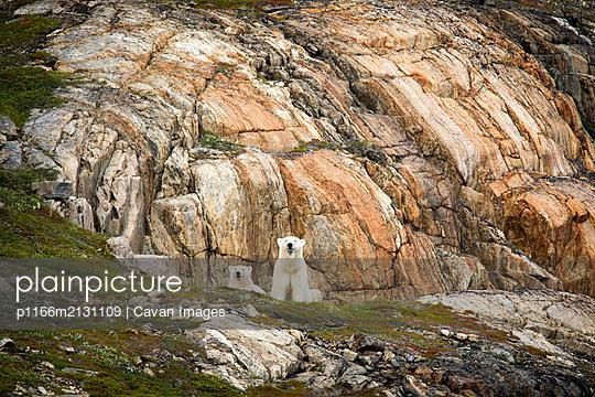 Polar bear explores rocky shoreline, Torngats Mountains National Park - p1166m2131109 by Cavan Images