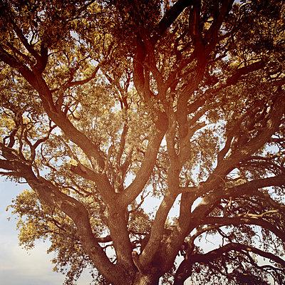 Alter Baum - p1105m1214240 von Virginie Plauchut