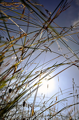 Looking up through grasses toward - p1047m814768 by Sally Mundy