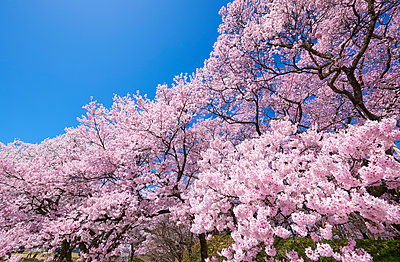 Cherry blossoms in full bloom and blue sky - p307m1495907 by MATSUO.K