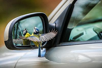 Bird near side mirror - p312m2050598 by Fredrik Schlyter
