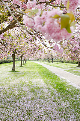 Avenue with cherry trees - p464m852257 by Elektrons 08