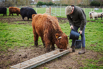 A man filling a feed trough for a group of highland cattle in a field.  - p1100m1450950 by Mint Images