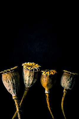 Four dried poppy seed heads against a black background - p1302m2244357 by Richard Nixon