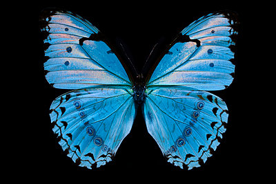 Hellblauer Schmetterling - p587m2115438 by Spitta + Hellwig