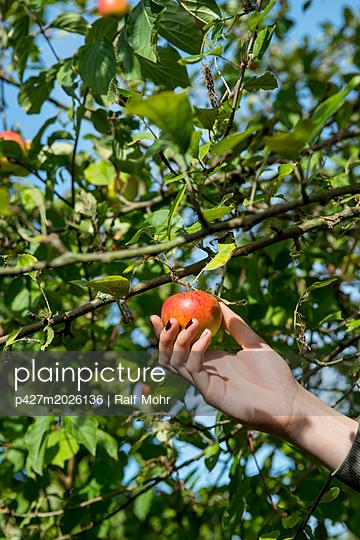 Apfel pflücken - p427m2026136 von R. Mohr