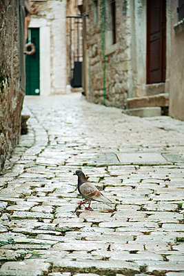 Dove on cobblestones - p317m1194798 by Nina Steul