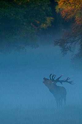 Red deer surrounded by thick fog - p5756657 by Karlsson, Henrik