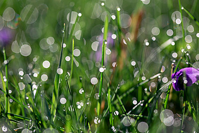 Close-up of water drops on grasses during sunny day - p1166m2112071 by Cavan Images