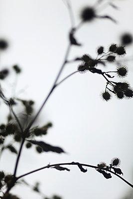 Dunkle Pflanze - p1220m1025775 von Schall & Schnabel