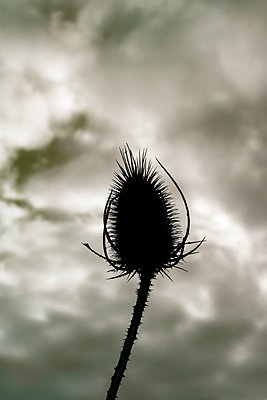 Thistle silhouetted against a stormy sky - p1228m1527680 by Benjamin Harte