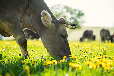Cow grazing on a meadow with dandelions - p300m2081264 by Steve Brookland