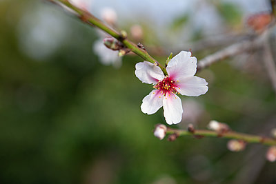 Almond Blossom La Palma - p1095m2072787 by nika