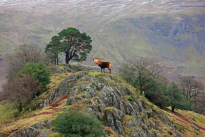 An elk standing on the top of a rock and calling; cumbria, england - p442m719085f by John Short