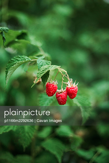 Red raspberry on the vine. - p1166m2292636 by Cavan Images