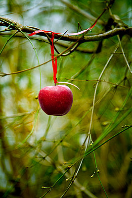 Apple Hanging from Tree Branch - p1248m2152482 by miguel sobreira