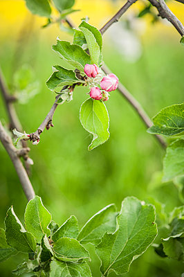 Budding apple tree - p1288m1161432 by Nicole Franke