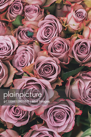 Roses, tightly furled flowers with soft dusky pink coloured petals, packed together.