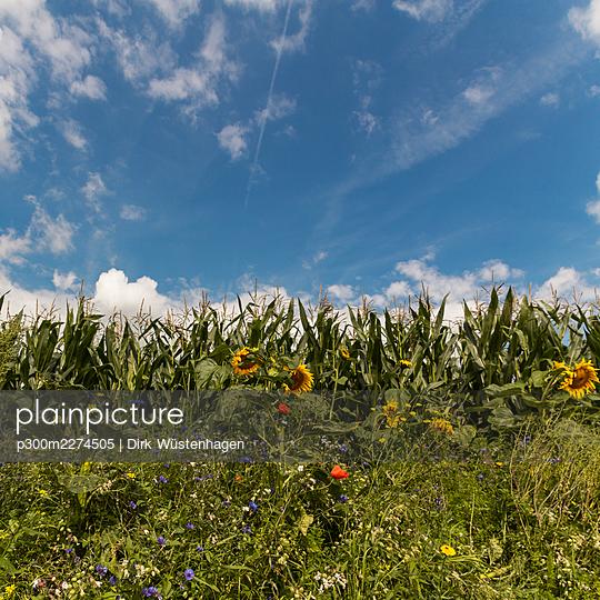 Cornfield and flowers near Wuppertal, Germany - p300m2274505 by Dirk Wüstenhagen