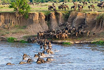 Herd of blue wildebeest (brindled gnu) (Connochaetes taurinus) crossing the Mara River, Masai Mara National Reserve, Kenya, East Africa, Africa - p8712496 by Nico Tondini