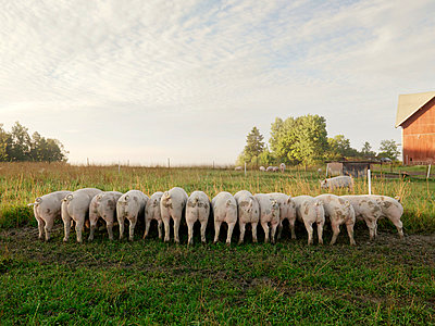 Group of pigs - p972m1056530 by Felix Odell