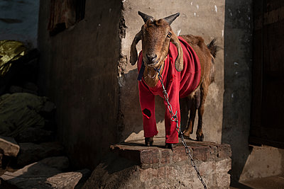 Goat with a Red sweet shirt - p1007m2099033 by Tilby Vattard