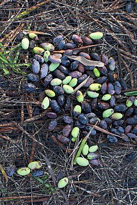 Olivenernte - p1486m2076086 von LUXart