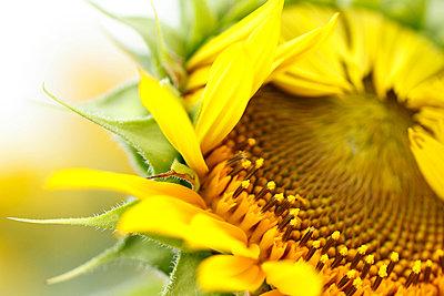 Sunflower - p307m974187f by Tetsuya Tanooka