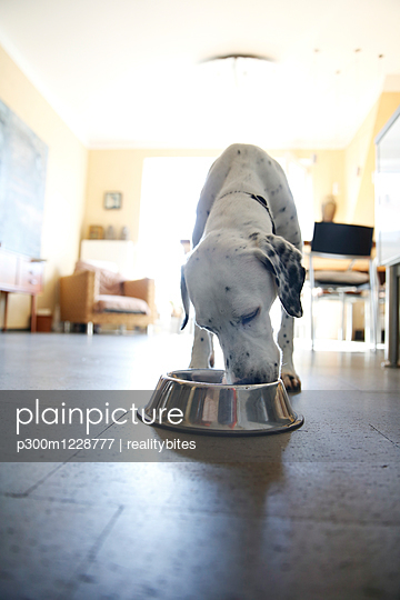 Dog at home eating from bowl - p300m1228777 by realitybites